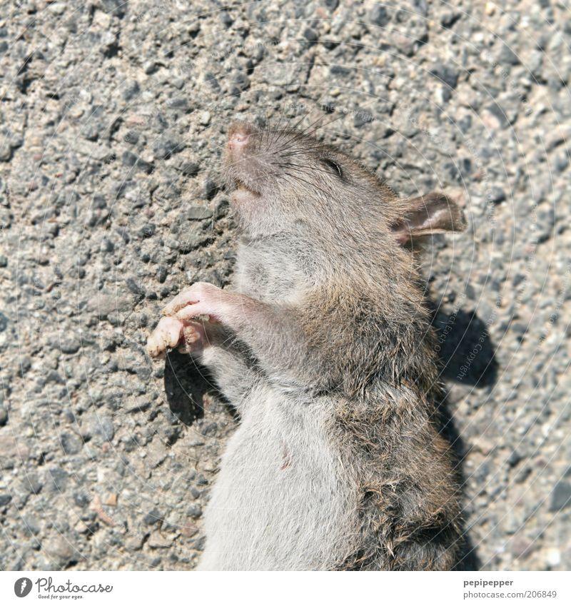 Mausetod Tier Tod Tiergesicht Pfote Nagetiere Tierfuß Mensch Totes Tier