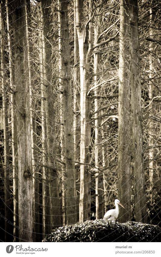 Storch im Wald Winter Umwelt Natur Landschaft Pflanze Tier Wildpflanze Vogel 1 alt braun weiß überwintern laublos kahl Baumstamm Gedeckte Farben Außenaufnahme