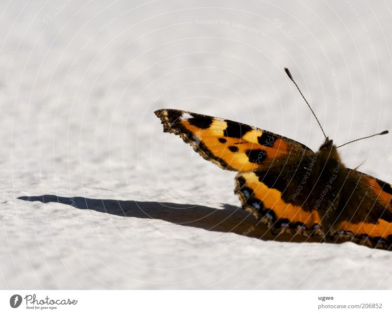 zwischenlandung schön Tier nah authentisch Schmetterling Fühler