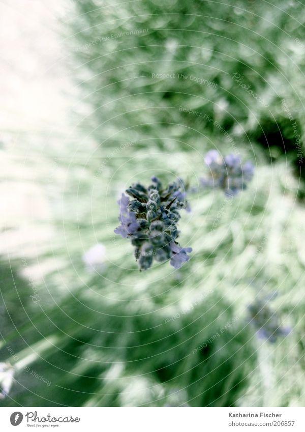 Lavendel Natur grün Pflanze Blüte außergewöhnlich Beginn frisch ästhetisch Wachstum Sträucher violett Blühend Duft Kräuter & Gewürze Frühlingsgefühle