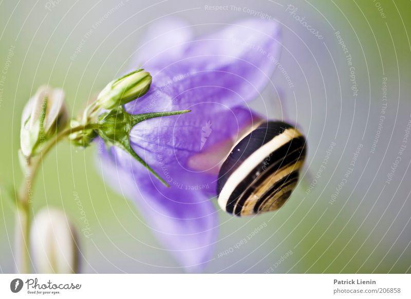 snail mail Umwelt Natur Pflanze Tier Luft Sommer Blume Blüte Grünpflanze sitzen Schnecke Glockenblume schön Schleim unbeliebt Schneckenhaus Fressen