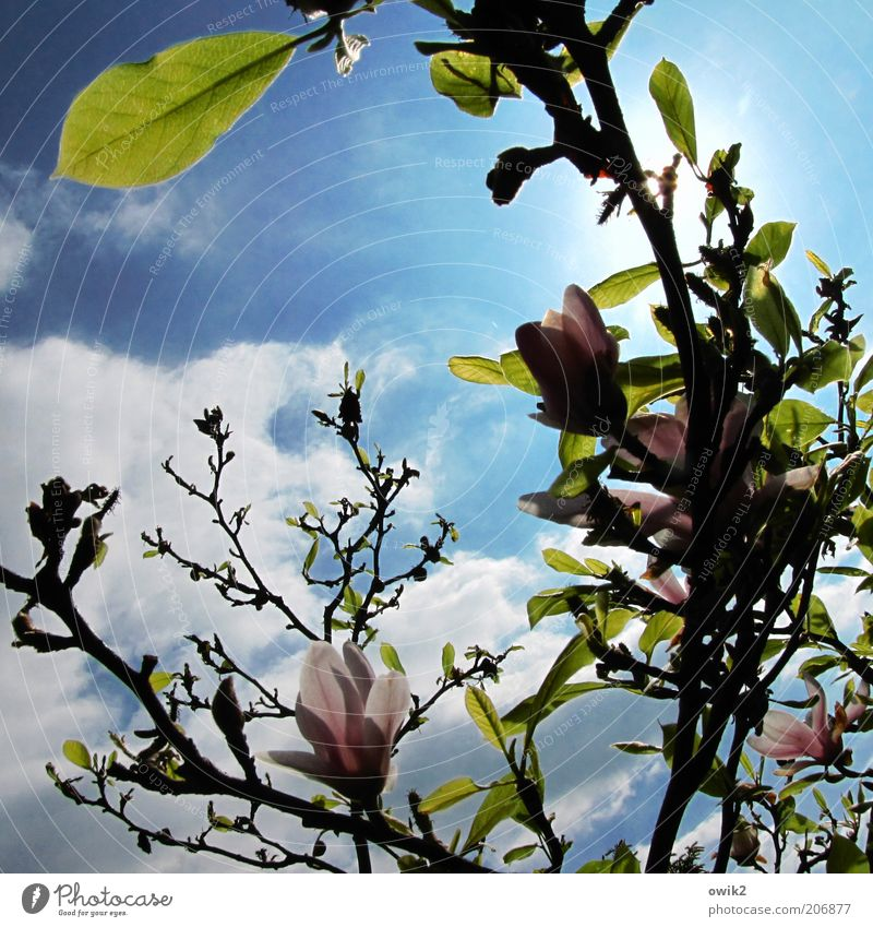 Magnoilae Umwelt Natur Pflanze Himmel Wolken Sonne Sonnenlicht Frühling Klima Wetter Schönes Wetter Baum Blatt Blüte Grünpflanze Wildpflanze Magnolienbaum atmen
