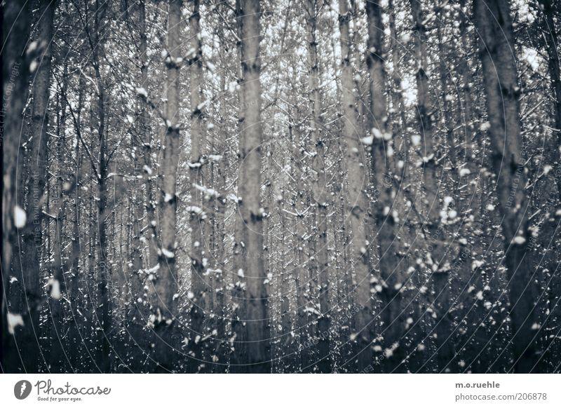 unendlichkeit Umwelt Natur Landschaft Winter Schnee Baum Nadelbaum Wald Holz alt ästhetisch natürlich weiß Gefühle Märchenwald Märchenlandschaft Ast Linie