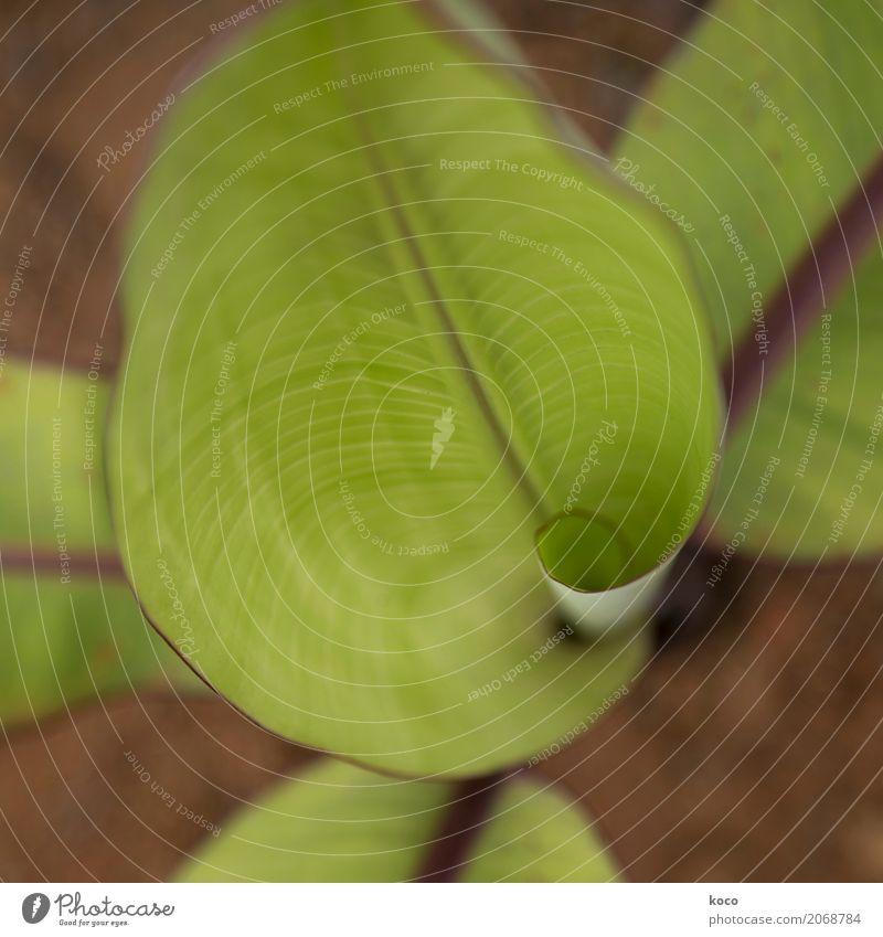 Bananenblatt-Baby Natur Pflanze Erde Frühling Sommer Blatt Grünpflanze Nutzpflanze exotisch Feld Linie Wachstum natürlich positiv braun grün Optimismus Beginn
