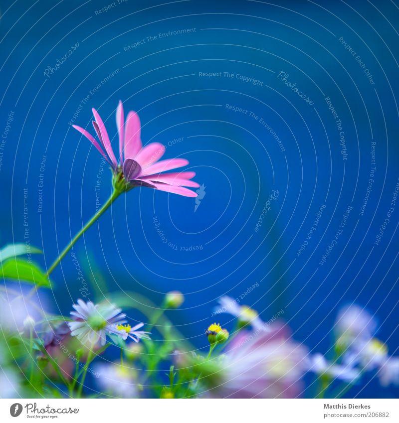 Blume schön Duft Sommer Dekoration & Verzierung Umwelt Natur Pflanze blau Gänseblümchen Margerite Orchidee Farbfoto mehrfarbig Außenaufnahme Nahaufnahme