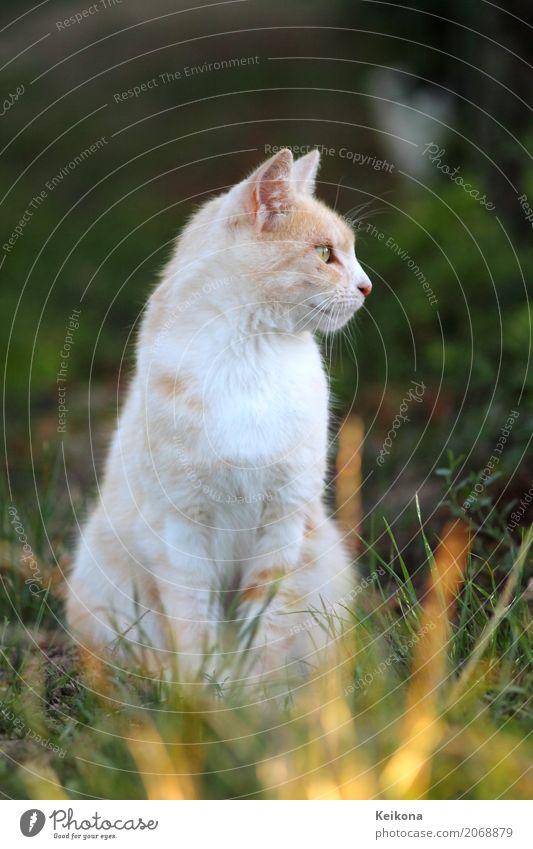 White peach coloured cat in grass. Natur Landschaft Sonnenaufgang Sonnenuntergang Sonnenlicht Sommer Schönes Wetter Wärme Gras Wiese Feld Tier Haustier Katze
