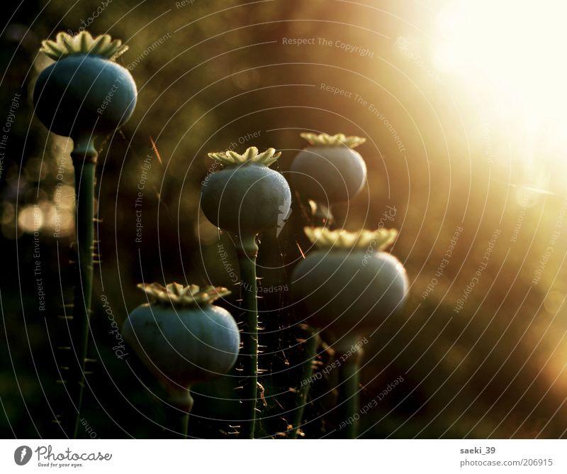 papever Natur Pflanze Sommer Stimmung gut natürlich Mohn Gefühle Gegenlicht Morgen Mohnkapsel