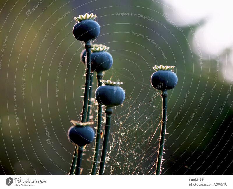 Papaver am Morgen Natur blau Pflanze Sommer schwarz Stimmung elegant ästhetisch gut natürlich Mohn Spinngewebe Mohnkapsel Gelber Alpenmohn