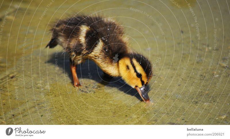 99 Kükenfotos... Umwelt Natur Sommer Schönes Wetter Wärme Teich Tier Wildtier Vogel Tiergesicht 1 Tierjunges schön Ente Entenküken Wasser Flaum Feder gelb grün