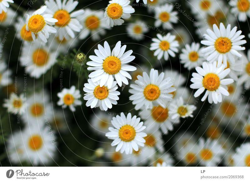 Sommergänseblümchen Alternativmedizin Wellness Leben harmonisch Wohlgefühl Zufriedenheit Sinnesorgane Erholung ruhig Umwelt Natur Pflanze Frühling Blume Garten