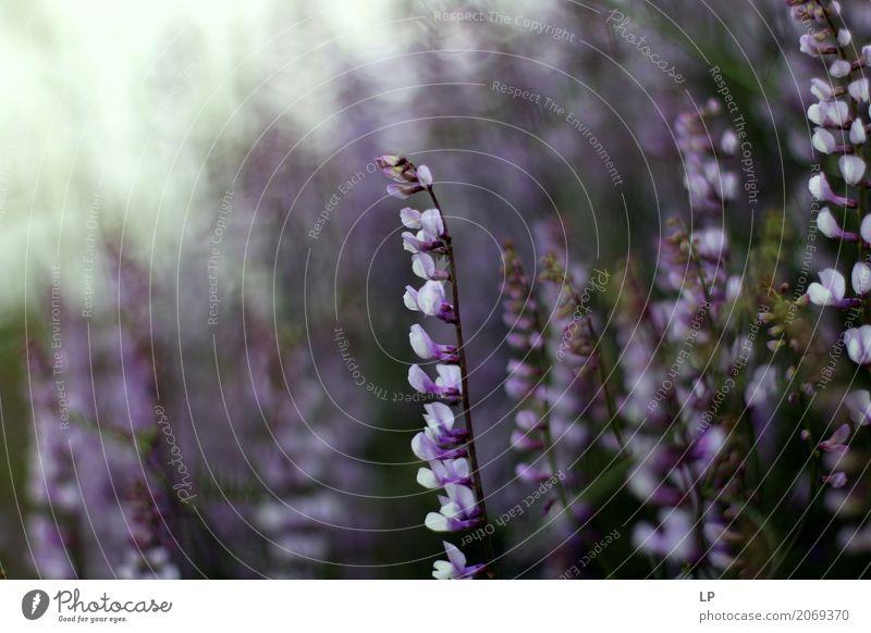 violette Frühlingsblumen bei Sonnenaufgang Natur Ferien & Urlaub & Reisen Blume Erholung ruhig Wärme Leben Lifestyle Innenarchitektur Gefühle feminin Garten