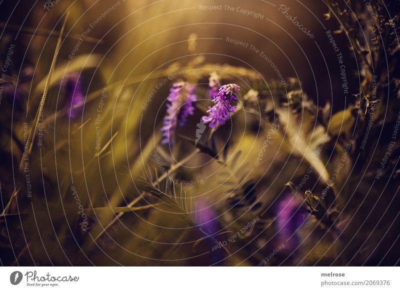 801. und happy lila weekend Natur Pflanze Sommer Farbe Blume Erholung Blatt schwarz Blüte Stil Park leuchten glänzend elegant gold Sträucher