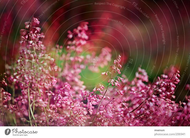 Frau Pfeifers Vorgarten Natur Sommer Pflanze Blume Sträucher Blüte Gartenpflanzen Sommerblumen Blühend Wachstum schön rosa Farbfoto Außenaufnahme Blütenstauden