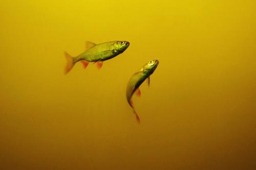 Zwei Umwelt Natur Tier Urelemente Wasser Teich See Fisch 2 frei nah maritim nass natürlich gelb rot Im Wasser treiben Flosse Farbfoto mehrfarbig Außenaufnahme