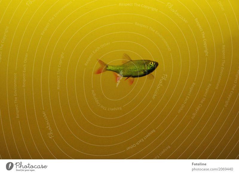 Einer Umwelt Tier Urelemente Wasser Teich See Wildtier Fisch 1 frei nah nass natürlich gelb Im Wasser treiben Flosse Auge Farbfoto mehrfarbig Außenaufnahme