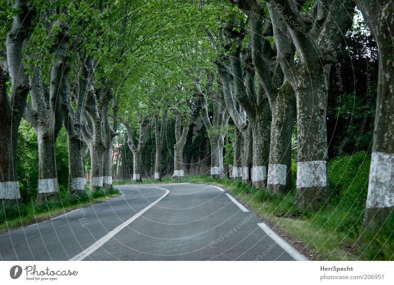 Just follow the white lines Baum Alleebäume Straße Landstraße grau grün weiß Platane Baumstamm Schilder & Markierungen Kurve leer Linie Farbfoto Außenaufnahme