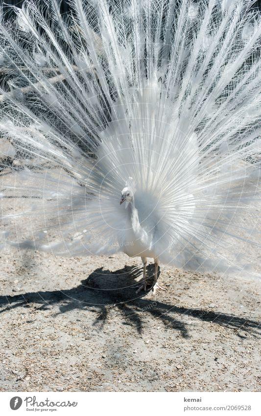 Weißer Pfau Umwelt Natur Tier Erde Sommer Schönes Wetter Haustier Nutztier Vogel 1 Blick stehen außergewöhnlich Coolness elegant exotisch gigantisch groß schön