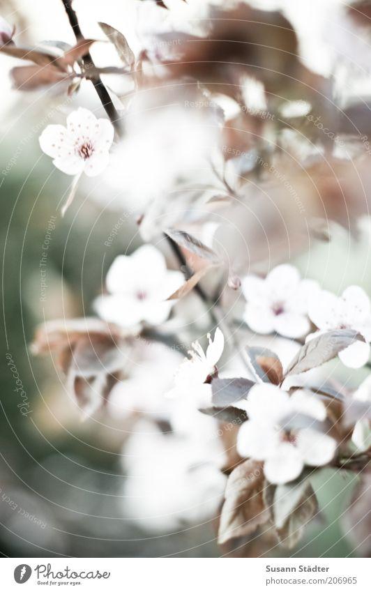Frühling Natur weiß Pflanze Blüte hell Ast Blühend Symbole & Metaphern Blütenblatt Grünpflanze Kirschblüten Frühlingsgefühle Wildpflanze