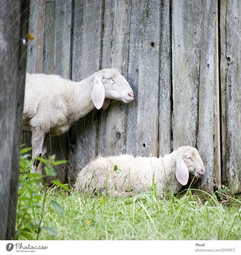 Schafe im Profil Gras Wiese Holzwand Tier Nutztier 2 Tierpaar Tierjunges Tierfamilie hocken stehen Zusammensein natürlich Zufriedenheit Vertrauen Schutz