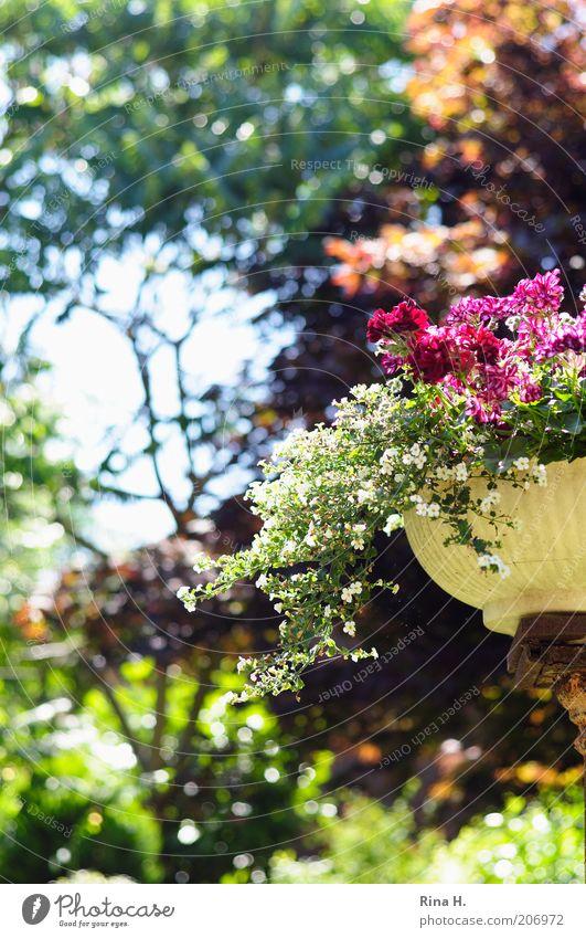 Monet Lifestyle Wohlgefühl Zufriedenheit Pflanze Sonnenlicht Sommer Klima Schönes Wetter Baum Blume Blüte Topfpflanze Garten Blühend ästhetisch Wärme grün rosa