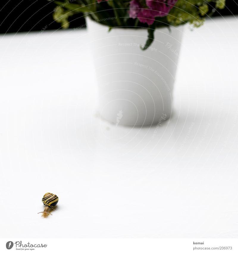 Ein langer Weg Natur weiß Pflanze Blume Tier gelb Umwelt Blüte Schnecke krabbeln Blumentopf Fühler Schneckenhaus Licht Topfpflanze