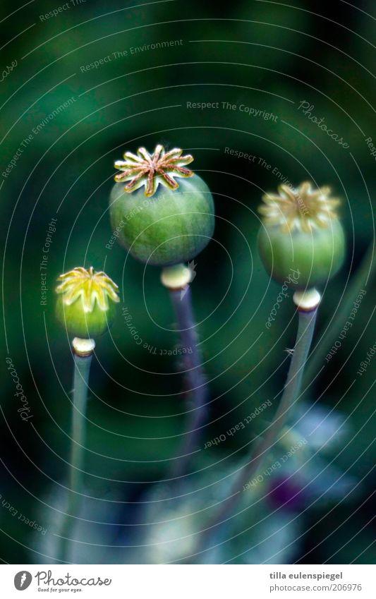 wird mal wieder zeit für einen mo(h)ntag Natur schön Blume grün Pflanze Sommer Farbe Umwelt Stern (Symbol) authentisch Vergänglichkeit wild natürlich Mohn