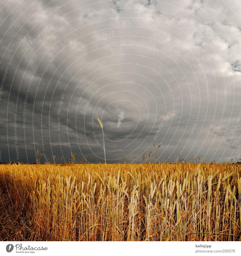 ehre wem ähre gebührt Umwelt Natur Landschaft Sommer Klima Unwetter Nutzpflanze Feld Ähren Getreidefeld Weizenfeld Gewitterwolken Gold Landwirtschaft Ehre