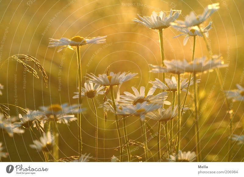 Summertime Umwelt Natur Pflanze Sommer Blume Blüte Margerite Wiese Blühend Wachstum schön natürlich Wärme gelb gold Lebensfreude Duft orange Farbfoto
