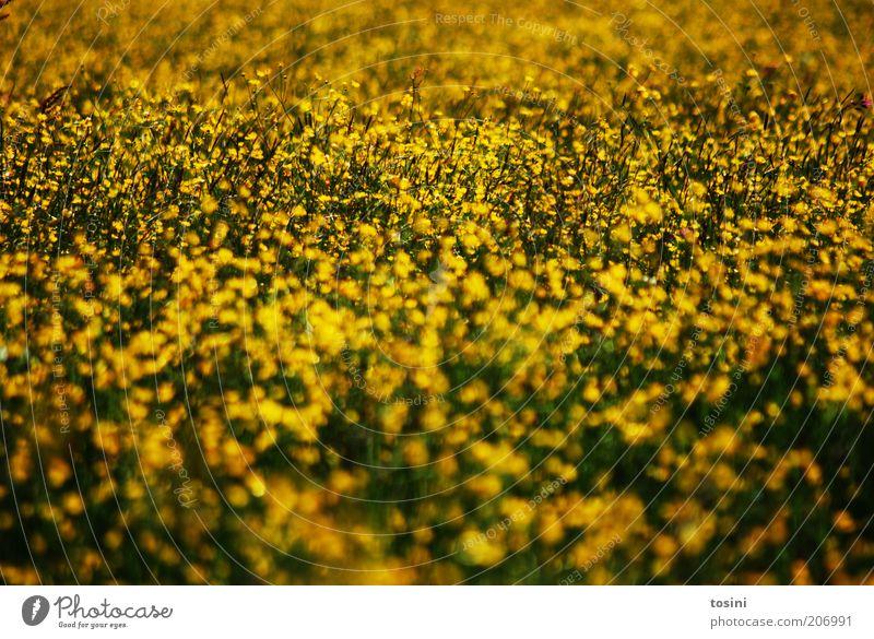Gelbes Meer Umwelt Natur Landschaft Pflanze Blume Gras Wildpflanze Wiese Feld gelb Blühende Landschaften Farbfoto Außenaufnahme Menschenleer Textfreiraum unten