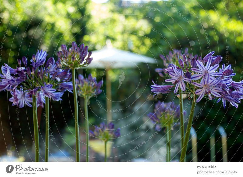 agapanthus oder die farbe lila grün schön Pflanze Blume Garten Blüte violett Blühend Stengel Lilien Blütenblatt sommerlich Gartenpflanzen