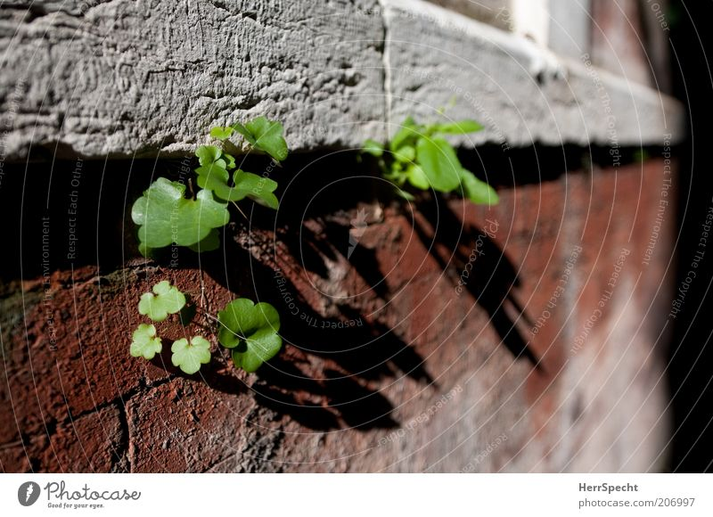 Tollkühne Ritzensprießer grün Pflanze rot Blatt Wand Mauer klein frisch Wachstum Backstein Fuge Grünpflanze Nische Naturwuchs