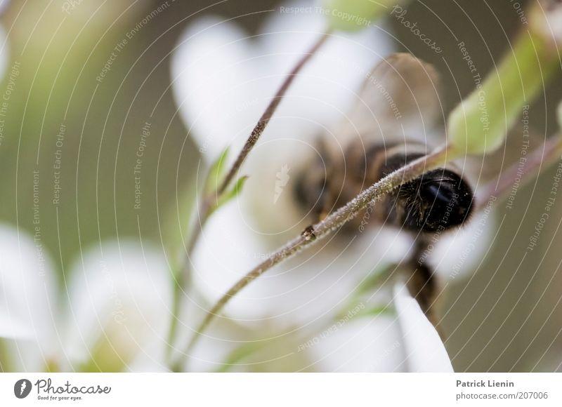 Baby got back Umwelt Natur Landschaft Pflanze Tier Sommer Wildtier Biene 1 Sammlung weiß Hinterteil Flügel Rückansicht festhalten grün arbeitend ruhig unterwegs