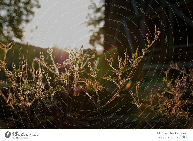 aneinemsommerabend Natur Pflanze Sommer ästhetisch leuchten Mauerpflanze
