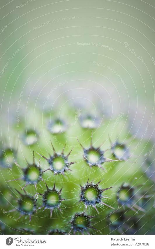 stachelig Umwelt Natur Pflanze Sommer Blume Blüte Wildpflanze exotisch grün rund mehrfarbig markant Farbfoto Makroaufnahme Textfreiraum oben Unschärfe Stachel