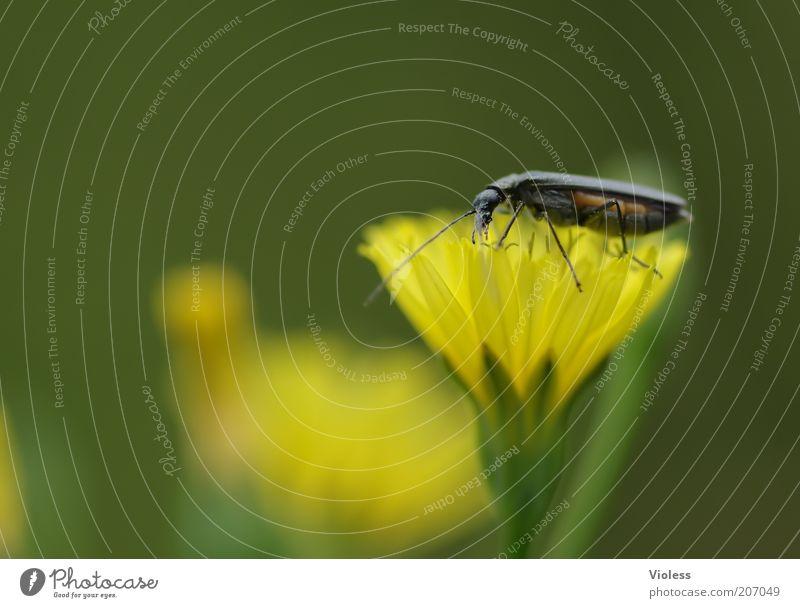 Wer sagt gelb steht mir nicht? Pflanze Blüte Wildpflanze Tier Käfer Blühend leuchten Wolliges Habichtskraut Farbfoto Makroaufnahme Lichterscheinung Blütenblatt