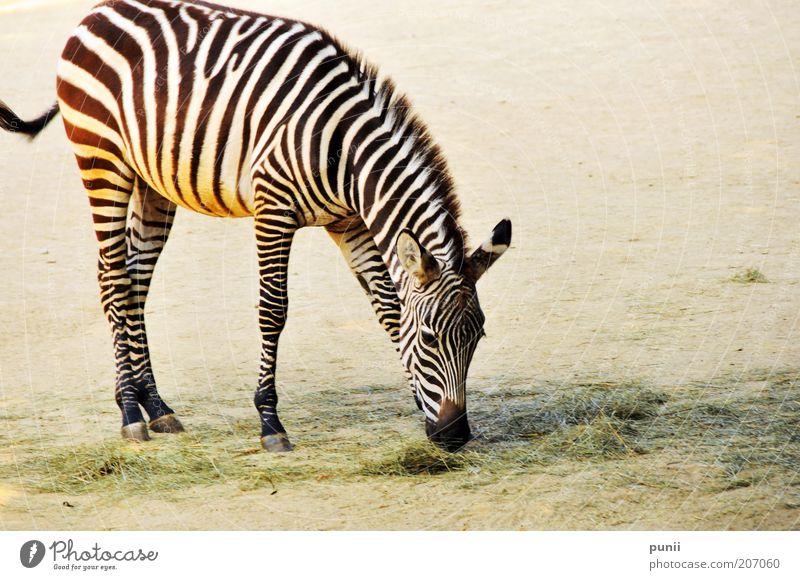 Stripes Natur weiß schwarz Tier Gras Sand elegant Streifen natürlich Zoo Wildtier Fressen Safari Zebra Futter