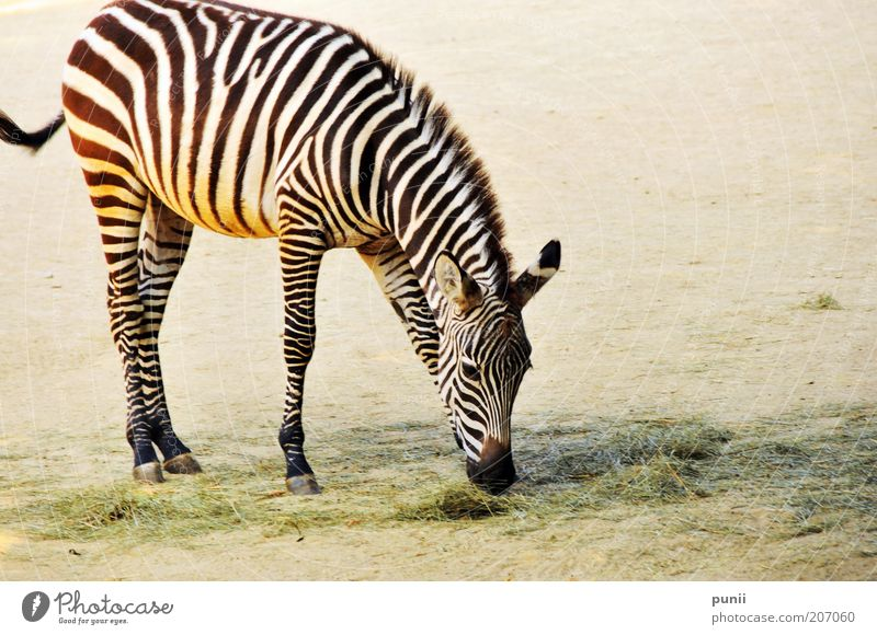 Stripes Safari Zoo Natur Tier Sand Fressen elegant Tierliebe Farbfoto Außenaufnahme Menschenleer Textfreiraum rechts Hintergrund neutral Tag Kontrast