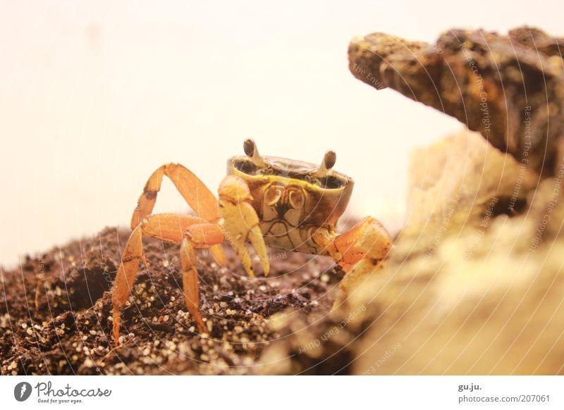 Harlekinkrabbe (Cardisoma armatum) oder auch Rocky Tier Haustier Wildtier Krabbe Terrarium Schere Krustentier Krebstier 1 Tierjunges Blick braun gelb orange