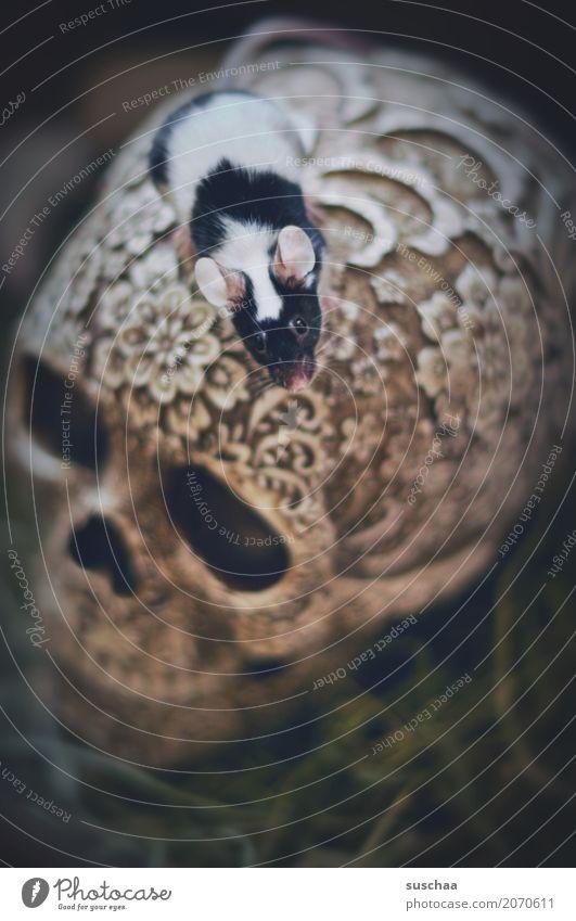 maus auf totenkopf Maus Haustier Säugetier Klettern entdecken Neugier Ohr scheckig Nagetiere Angst Vorsicht Ekel niedlich winzig klein süß Schädel