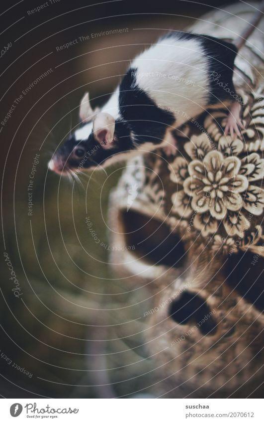maus auf totenkopf Maus Haustier Säugetier Klettern entdecken Neugier scheckig Nagetiere Angst Vorsicht Ekel niedlich winzig klein süß Schädel