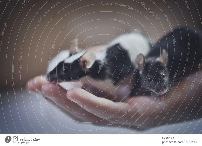 ein handvoll ... Hand Finger Mäuse Maus Haustier Nagetiere schwarz Schwarzweißfoto Fell scheckig Angst Ekel zart niedlich klein zerbrechlich Schutz