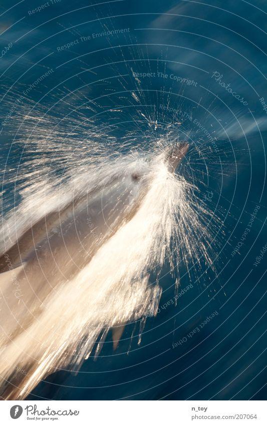 Eskorte Wasser Meer blau Ferien & Urlaub & Reisen Tier Bewegung Kraft Geschwindigkeit Dynamik Wal Delphine Wasserspritzer Walbeobachtung