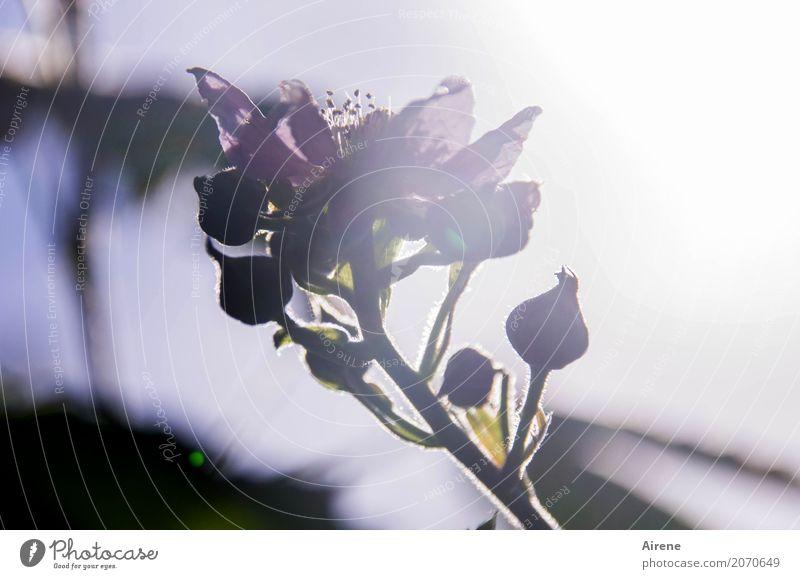 Hoffnung Pflanze Sonnenlicht Frühling Sommer Schönes Wetter Blüte Brombeerbusch Rosengewächse Garten Wald Blühend leuchten Duft glänzend hell natürlich