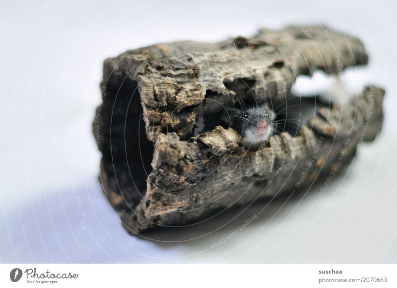 schnuffelsüßesmausegesicht Maus Mäuse Tier Haustier Nagetiere flink klein echte Maus Schüchternheit Angst Ekel Blick verstecken niedlich Mäusegesicht Versteck