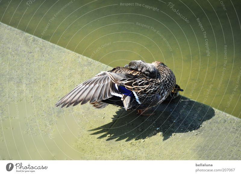 100 Einzelstücke Natur Wasser Tier Umwelt grau braun Vogel Beton Wildtier Flügel Feder Schönes Wetter Seeufer Ente Teich Wasseroberfläche