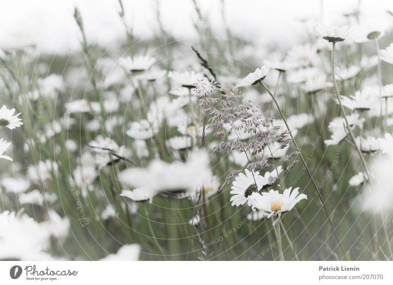 daydream Umwelt Natur Landschaft Pflanze Sommer Klima Schönes Wetter Wind Blume Blatt Blüte Grünpflanze Wildpflanze Wiese genießen Margerite schön hell weiß