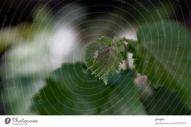 Schattendasein Umwelt Pflanze Sommer Blatt Wildpflanze Wachstum grün diffus Grünpflanze Menschenleer Textfreiraum links Blattadern Zacken Farbfoto Außenaufnahme