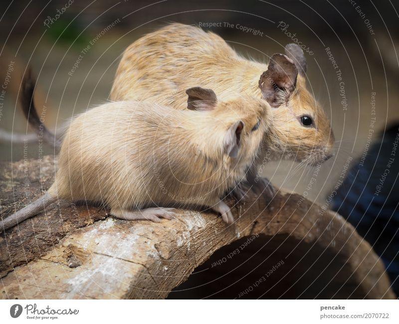 pssst! Wildtier 2 Tier Holz hocken hören Kommunizieren Nagetiere Flüstern Ohr degu trugratten Farbfoto Außenaufnahme Tierporträt