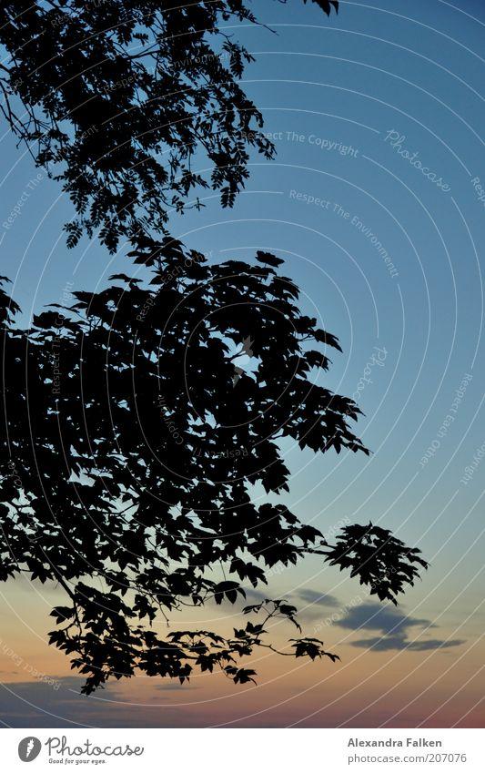 Whisky nicht vor Sonnenuntergang. Himmel Sonnenaufgang Sommer Baum Blatt Fernweh blau Blauer Himmel Farbe Silhouette Farbfoto Ast Zweig Baumkrone Blätterdach