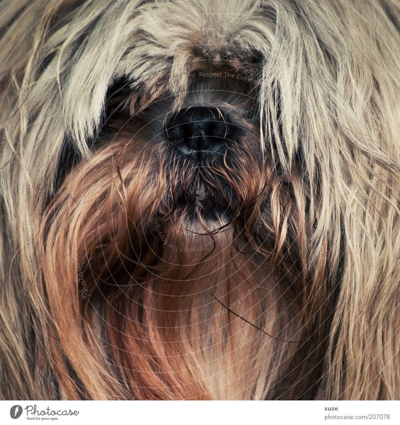 Ich hab die Haare schön ... Hund Tier lustig braun Nase niedlich Fell Tiergesicht Haustier langhaarig Säugetier Schnauze Terrier Mischling Haushund